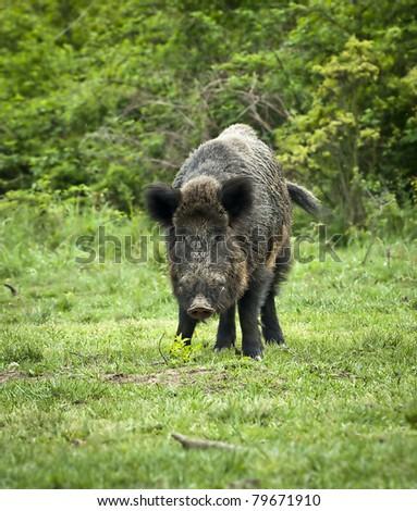 boar - stock photo