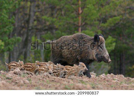 Boar and its little - stock photo