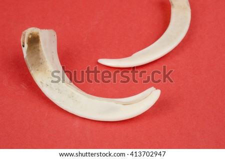 boar tusks close up - stock photo