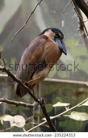 Boat-billed heron (Cochlearius cochlearius).   - stock photo