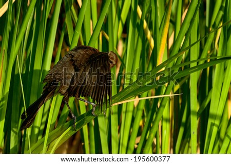 boat-tailed grackle,  viera wetlands - stock photo