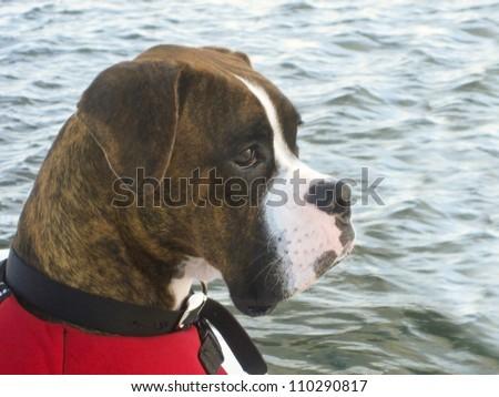 Boating Brindle Boxer - stock photo