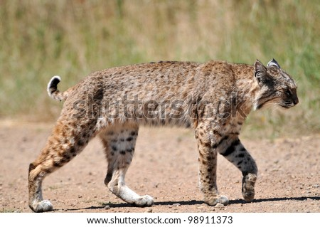Bobcat Crossing the Trail - stock photo