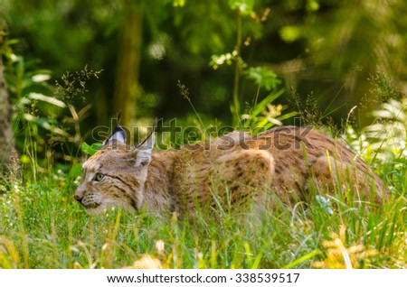 Bobcat hunting - stock photo
