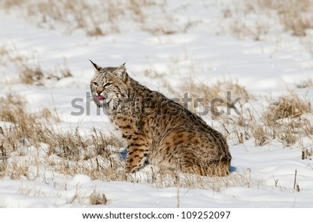 Bobcat in Fresh Snow - stock photo