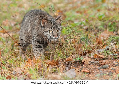 Bobcat Kitten (Lynx rufus) Intently Stalks Through Grass - captive animal - stock photo