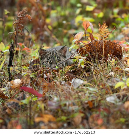 Bobcat Kitten (Lynx rufus) Lies Hidden in the Grass - captive animal - stock photo