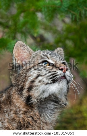 Bobcat Kitten (Lynx rufus) Looks Way Up - captive animal - copy space top - stock photo