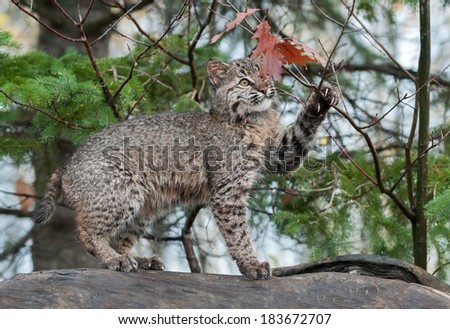 Bobcat Kitten (Lynx rufus) Plays with Leaves Atop Log - captive animal - stock photo