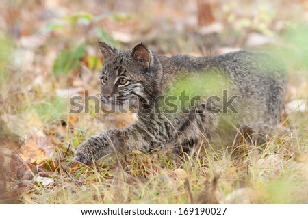 Bobcat Kitten (Lynx rufus) Stalks Through Grass - captive animal - out of focus grasses in foreground - stock photo