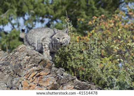 Bobcat kitten (lynx rufux) stalks prey from rocky outcropping with autumn foliage in background. - stock photo