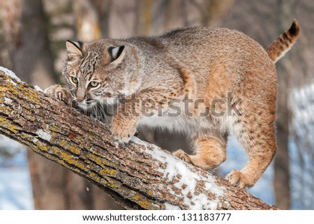 Bobcat (Lynx rufus) Crouches on Branch - captive animal - stock photo
