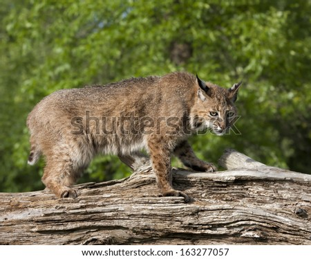 Bobcat on Fallen Tree - stock photo