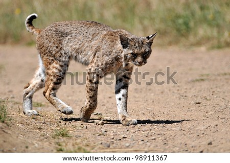 Bobcat on the Trail - stock photo