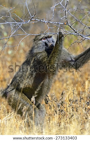 Bobuin pick berries in the African savanna - stock photo