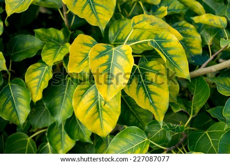 Bodhi Leaves yellow and green. - stock photo