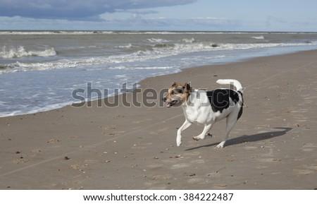 Boerenfox, mix fox terrier and parson terrier, running on a beach - stock photo