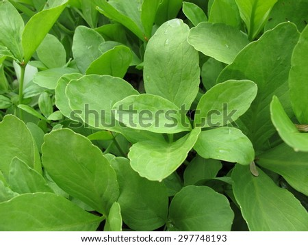 Bogbean, Menyanthes trifoliata - stock photo