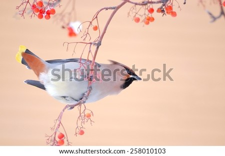 Bohemian waxwing (Bombycilla garrulus) eats rowan - stock photo
