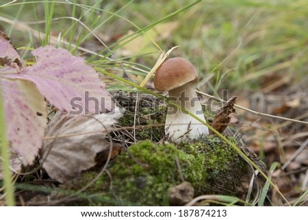 Boletus edulis; cep; - stock photo