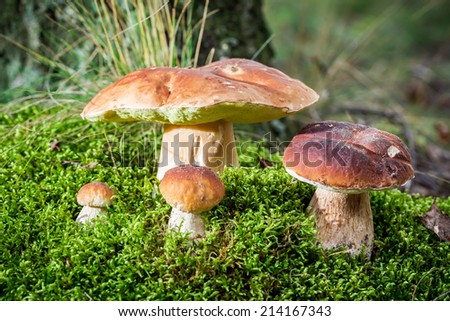 Boletus mushroom on moss in the forest - stock photo