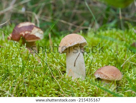 Boletus mushrooms on moss at dawn in the forest - stock photo