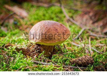 Boletus with cone at sunset - stock photo