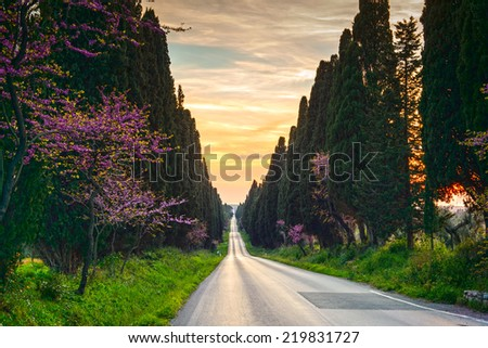 Bolgheri famous cypresses trees straight boulevard landscape. Maremma landmark, Tuscany, Italy, Europe. This boulevard is famous for Carducci poem. - stock photo