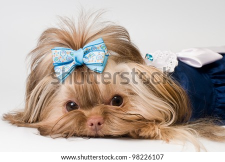 Bolonka Zwetna in the dress - stock photo