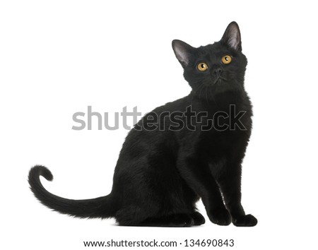 Bombay kitten sitting and looking up, isolated on white - stock photo