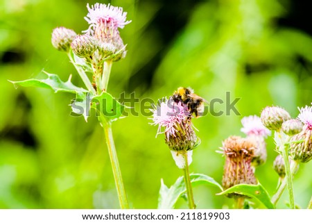 Bombus bumblebee on flower in close up - stock photo