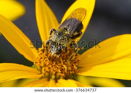 Bombus impatiens, Common Eastern Bumble Bee, covered in pollen - stock photo