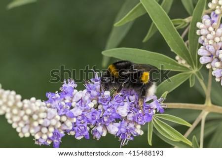Bombus terrestris, Buff-tailed bumblebee, Large earth bumblebee on Vitex agnus-castus, Chaste tree, Chasteberry - stock photo