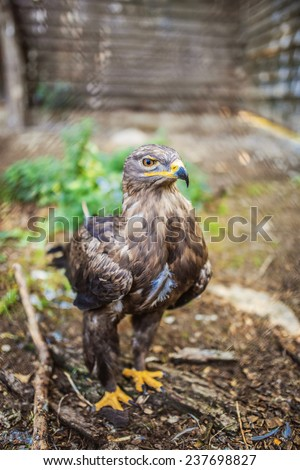 Bonelli eagle is large bird of prey. Like all eagles, it belongs to family Accipitridae. - stock photo