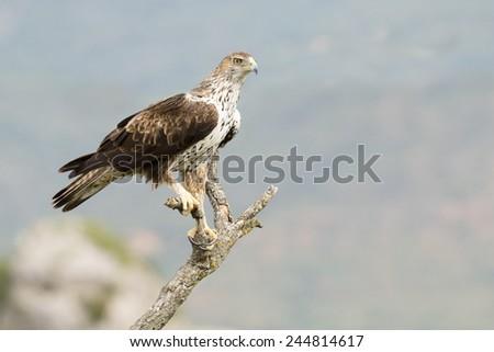 Bonelli's Eagle (Aquila fasciata) perched on a branch. - stock photo
