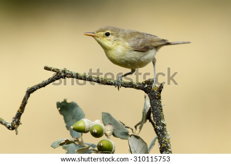 Bonelli's Warbler Young,( Phylloscopus bonelli ), on a branch - stock photo