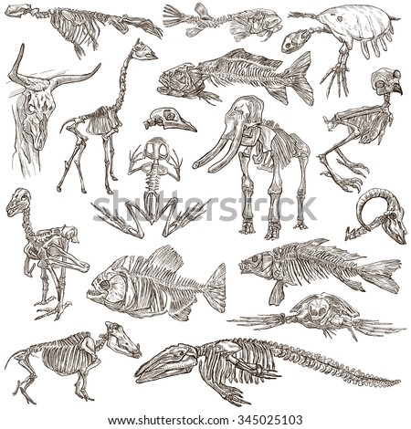 Bones and Skulls of different Animals - Collection of an hand drawn illustrations. Full sized hand drawn illustrations, Originals, freehand sketching, drawing on white background. - stock photo