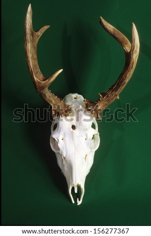bones and skulls of mammals taxidermy - stock photo