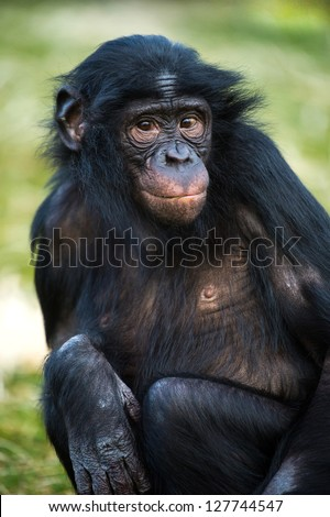 bonobo chimp portrait against a background of grass/Bonobo Chimp - stock photo