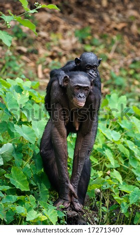 Bonobo  Cub on brachiums at mother.  At a short distance, close up. The Bonobo ( Pan paniscus),  called the pygmy chimpanzee. Democratic Republic of Congo. africa  - stock photo