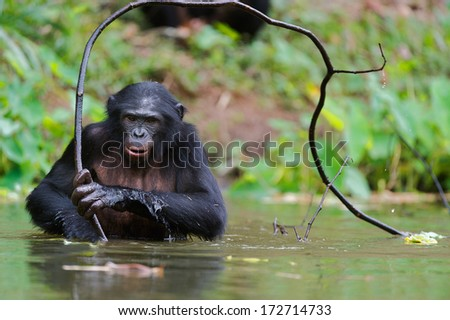 Bonobo  in the water with branch. At a short distance, close up. The Bonobo ( Pan paniscus),  called the pygmy chimpanzee. Democratic Republic of Congo. Africa - stock photo