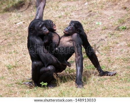bonobo monkeys having sex - stock photo