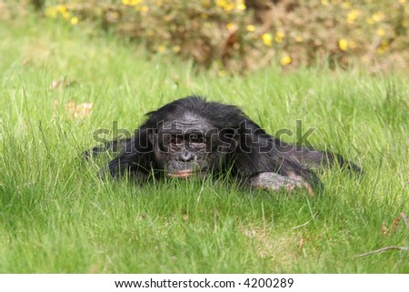 Bonobo relaxing - stock photo