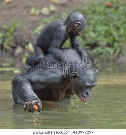 Bonobo standing on her legs in water with a cub on a back and drinks water.  The Bonobo ( Pan paniscus). Democratic Republic of Congo. Africa - stock photo
