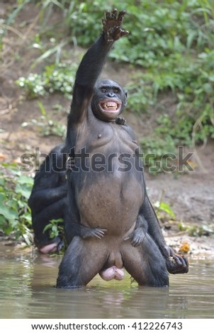 Bonobo standing on her legs in water with a cub on a back standing  and hand up. The Bonobo ( Pan paniscus). Democratic Republic of Congo. Africa  - stock photo