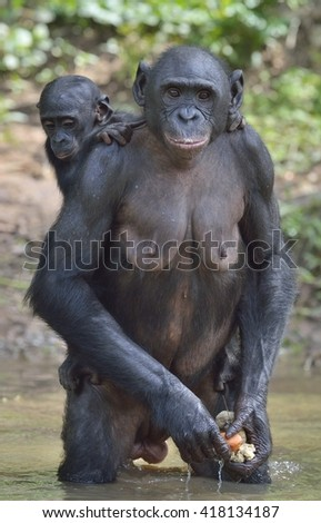 Bonobo standing on her legs in water with a cub on a back.  The Bonobo ( Pan paniscus). Democratic Republic of Congo. Africa - stock photo