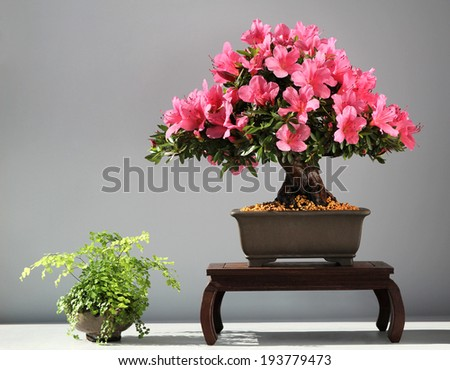 bonsai azalea sat-suki tree - stock photo