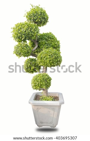 bonsai green  on wite  - stock photo