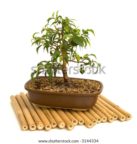 bonsai isolated on white background - stock photo