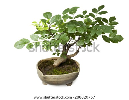 Bonsai isolated on white background with clipping path - stock photo